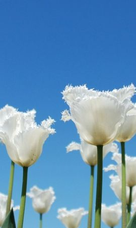8535 скачать обои Растения, Цветы, Тюльпаны - заставки и картинки бесплатно