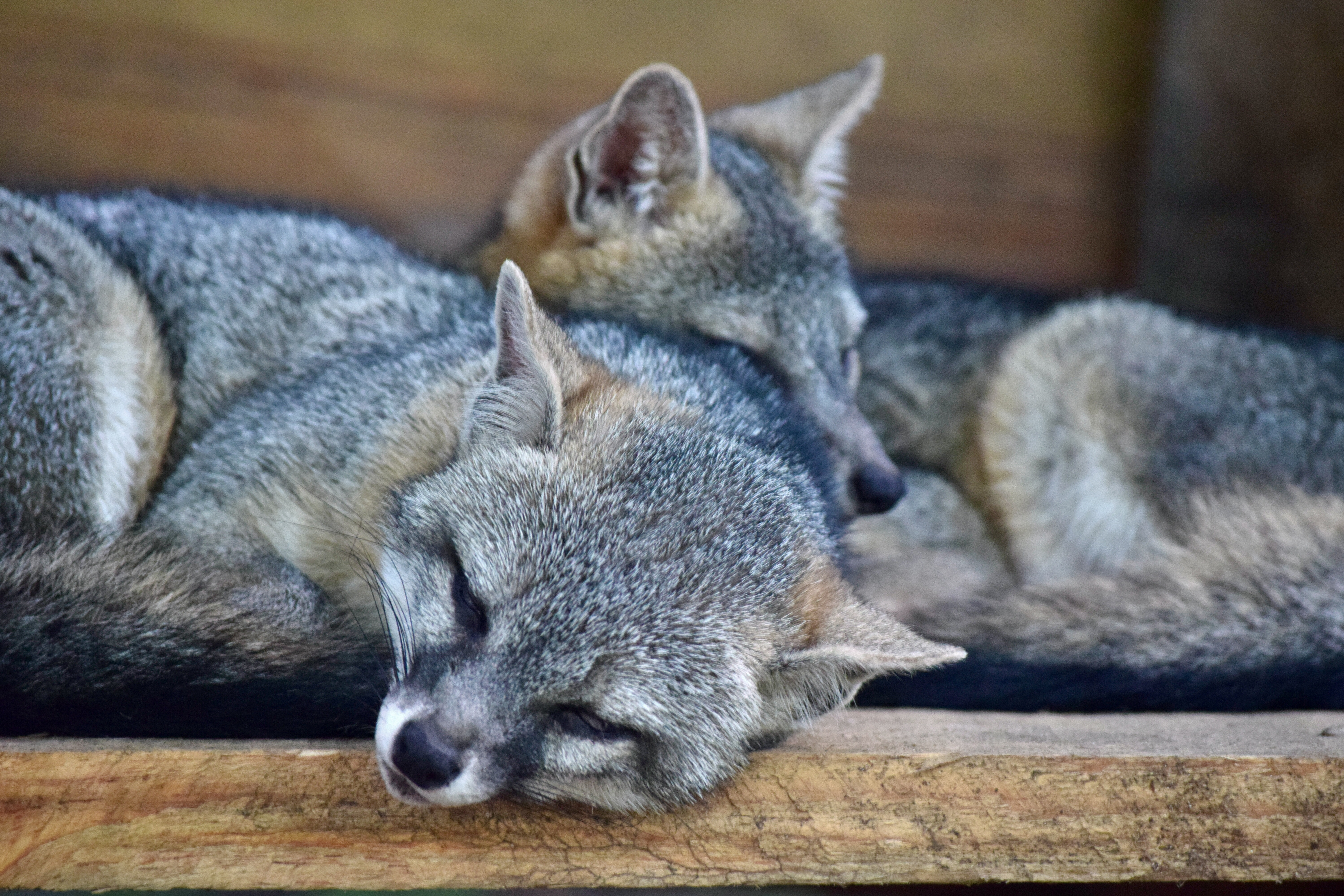 148578 Screensavers and Wallpapers Raccoon for phone. Download Animals, Couple, Pair, To Lie Down, Lie, Care, Raccoon, Raccoon-Stripe pictures for free