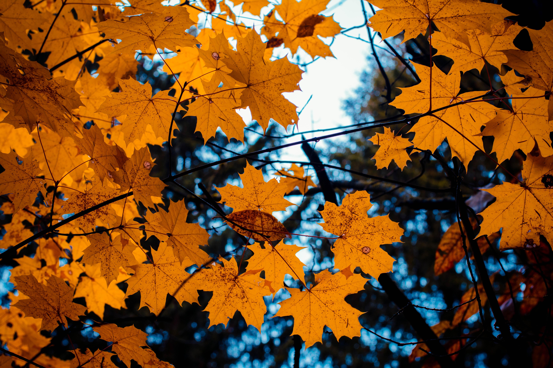 71491 скачать обои Осень, Природа, Листья, Ветки, Клен - заставки и картинки бесплатно
