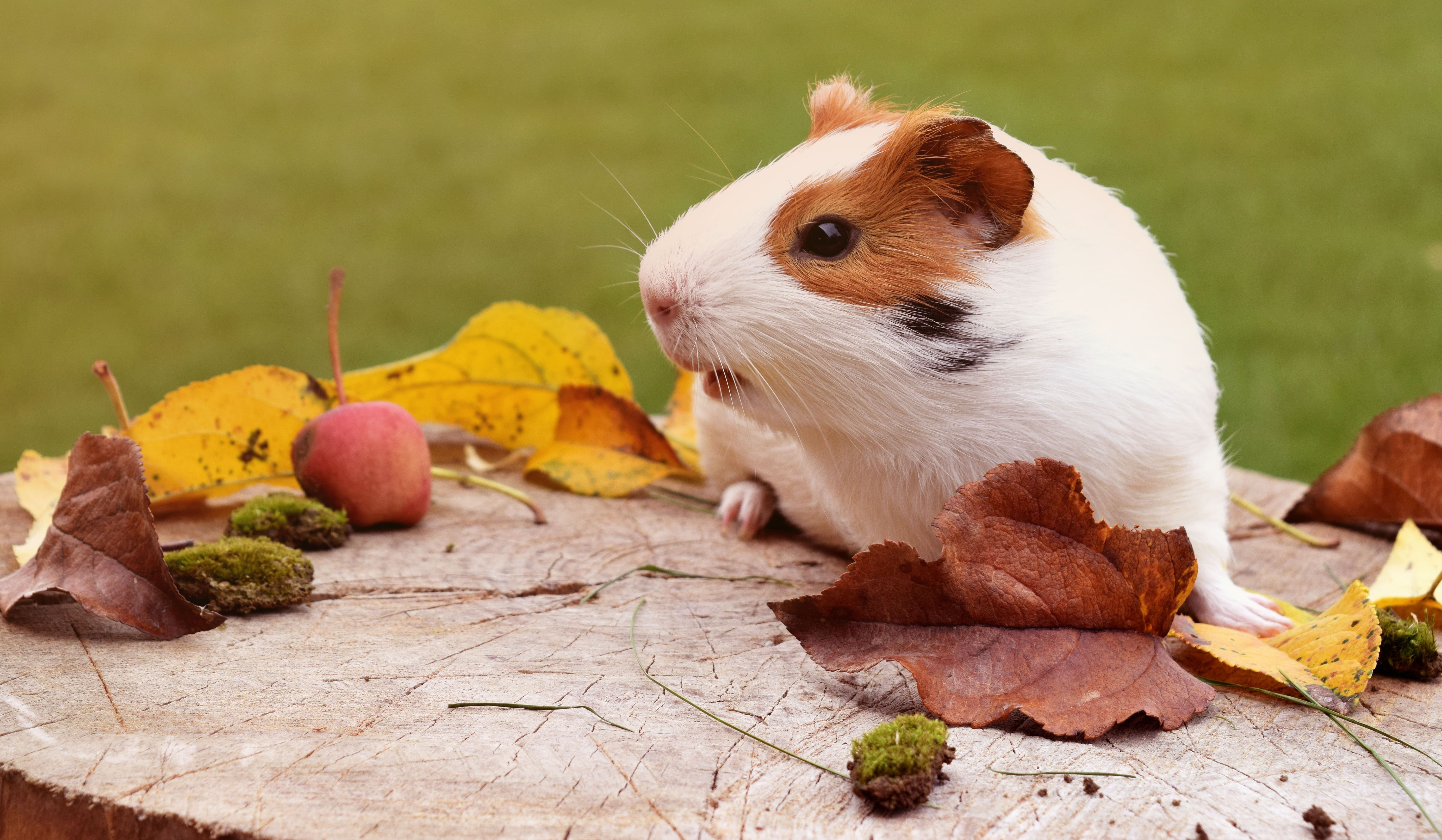 126021 download wallpaper Animals, Guinea Pig, Rodent, Foliage, Autumn screensavers and pictures for free