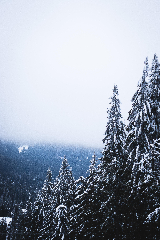 69186 скачать обои Природа, Деревья, Лес, Туман, Снег, Сосны - заставки и картинки бесплатно