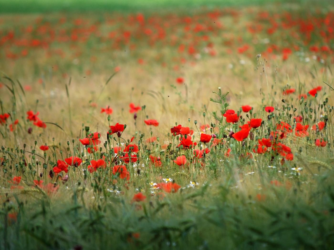 37216 скачать обои Растения, Цветы, Маки - заставки и картинки бесплатно