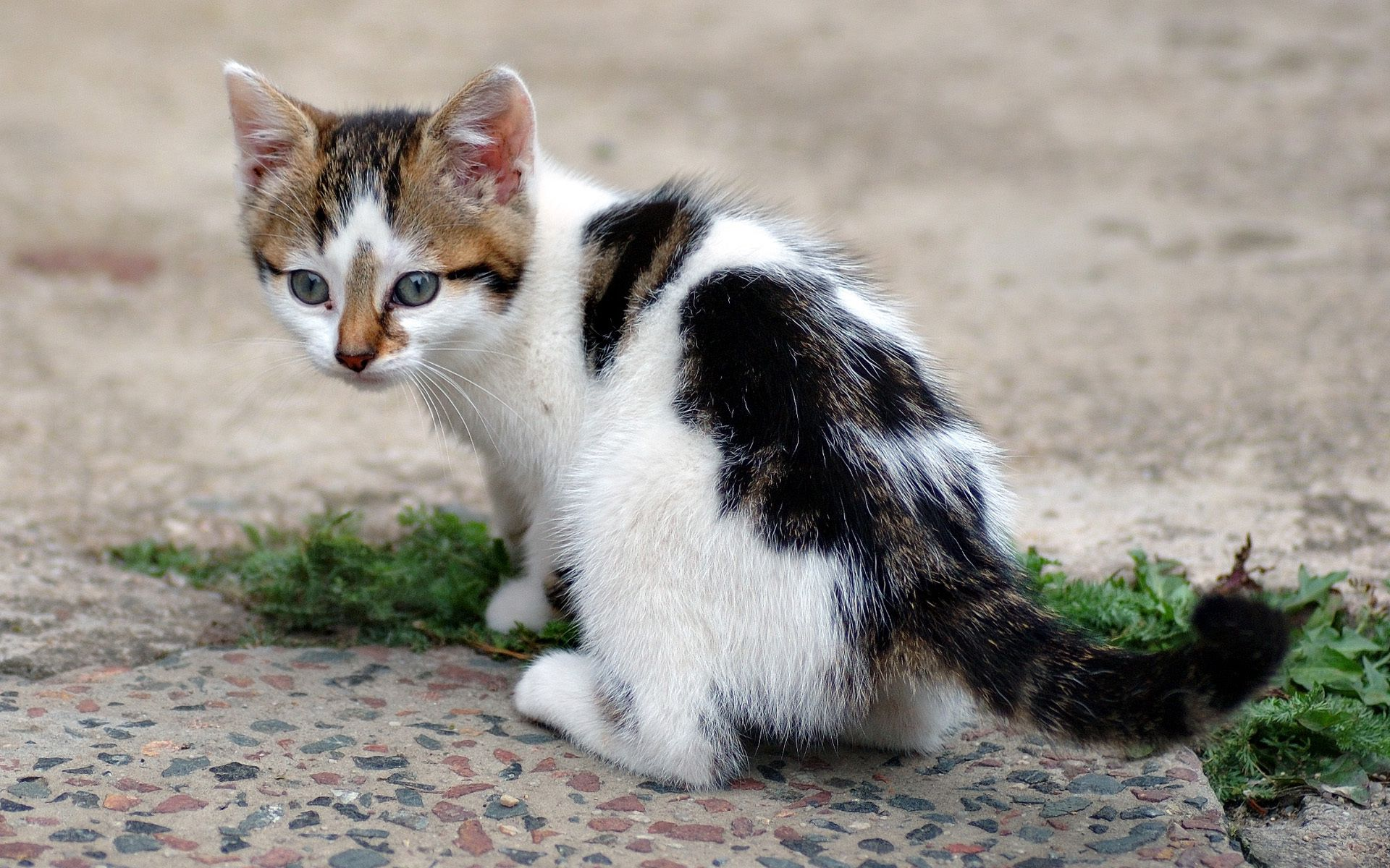 145607 download wallpaper Animals, Kitty, Kitten, Spotted, Spotty, Grass, Asphalt screensavers and pictures for free