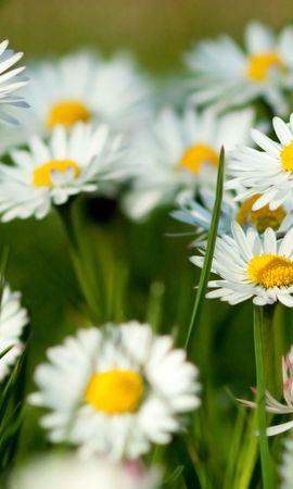 8348 скачать обои Растения, Цветы, Ромашки - заставки и картинки бесплатно