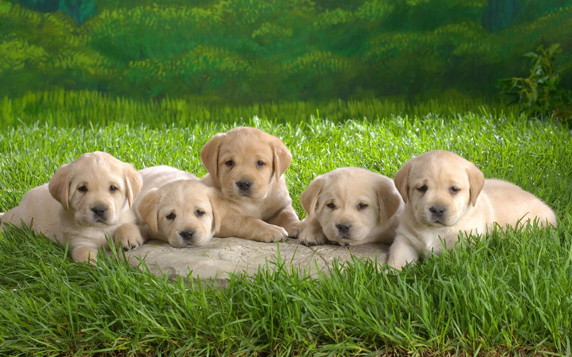 129135 download wallpaper Animals, Grass, Family, Labradors, Puppies screensavers and pictures for free