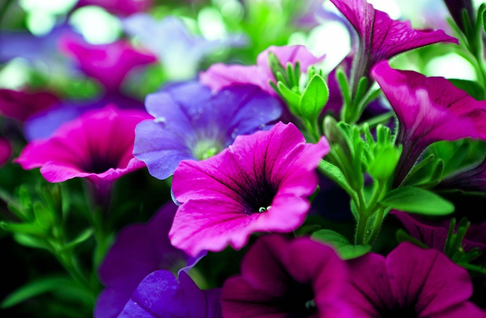108443 скачать обои Цветы, Калихобрия, Яркая, Розовая, Сиреневая, Крупный План - заставки и картинки бесплатно
