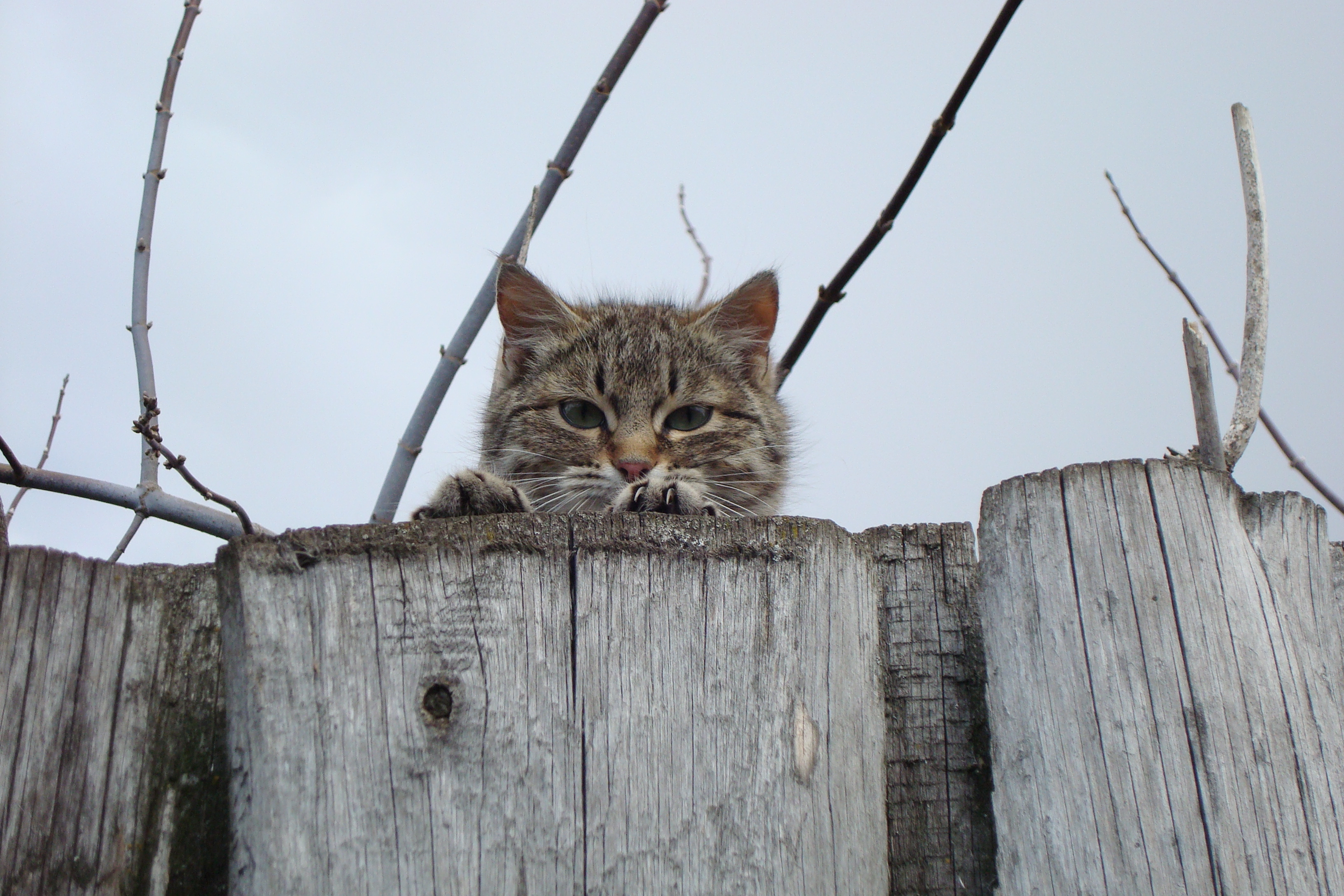 53677 download wallpaper Animals, Cat, Muzzle, Sight, Opinion, Fence, Peek Out, Look Out screensavers and pictures for free