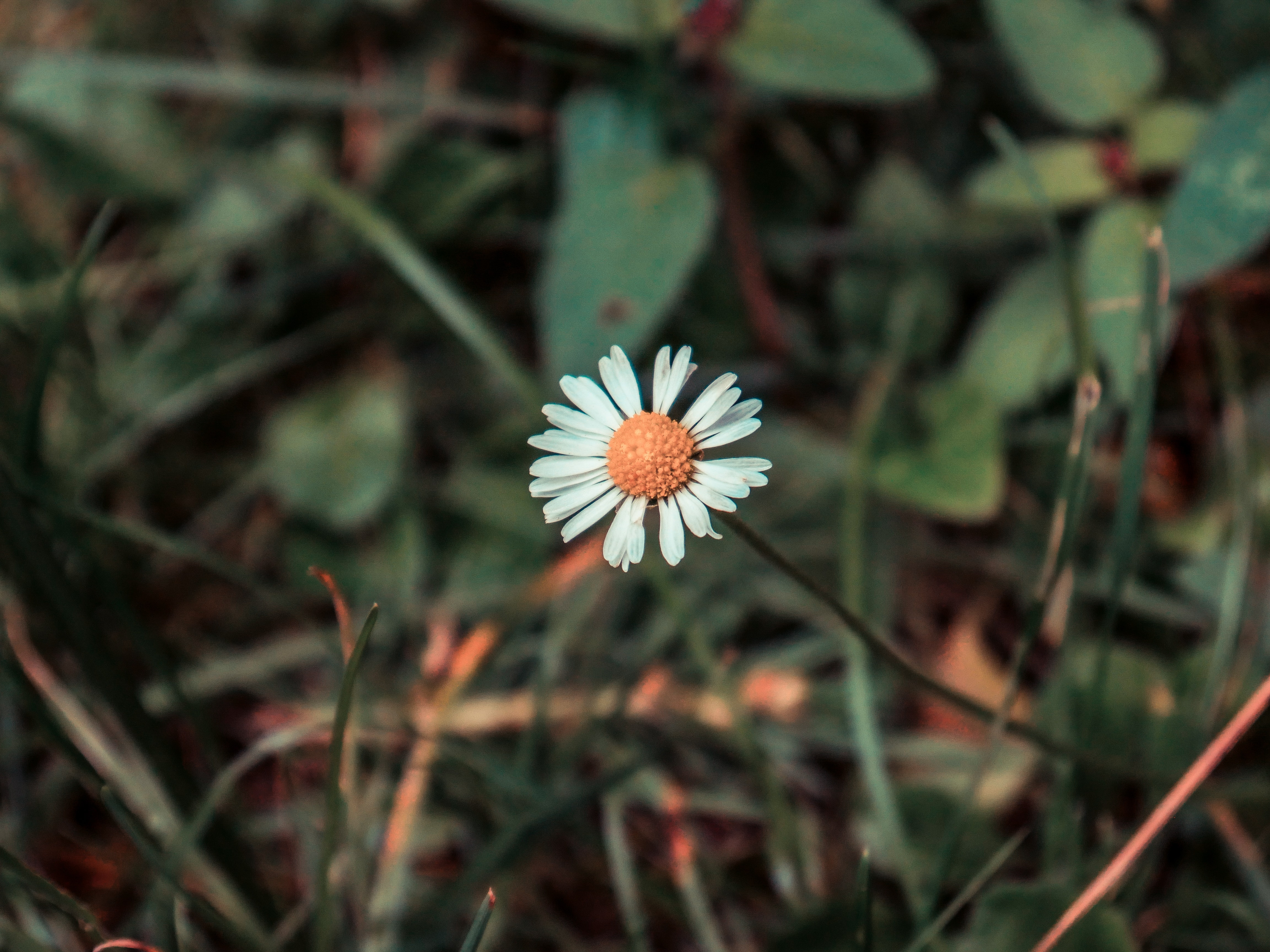52343 download wallpaper Flowers, Chamomile, Camomile, Flower, Field, Blur, Smooth screensavers and pictures for free