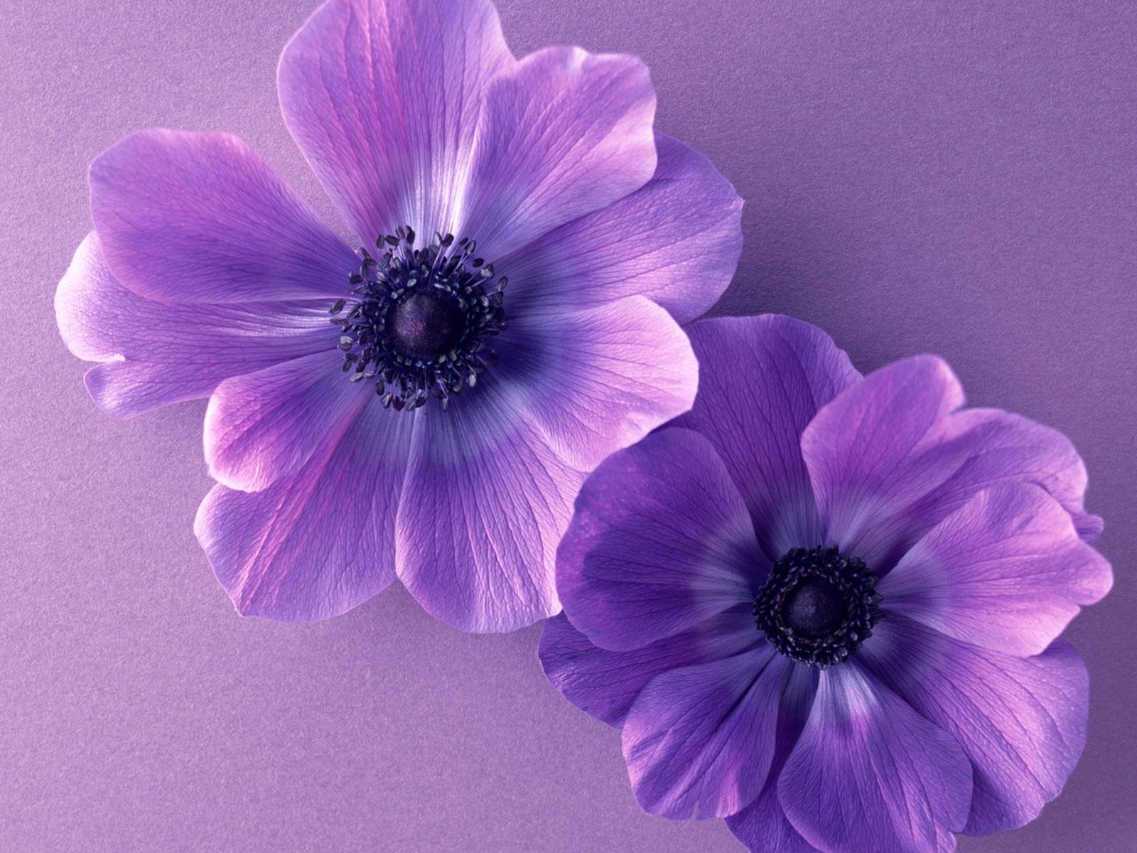 12527 скачать Фиолетовые обои на телефон бесплатно, Растения, Цветы Фиолетовые картинки и заставки на мобильный