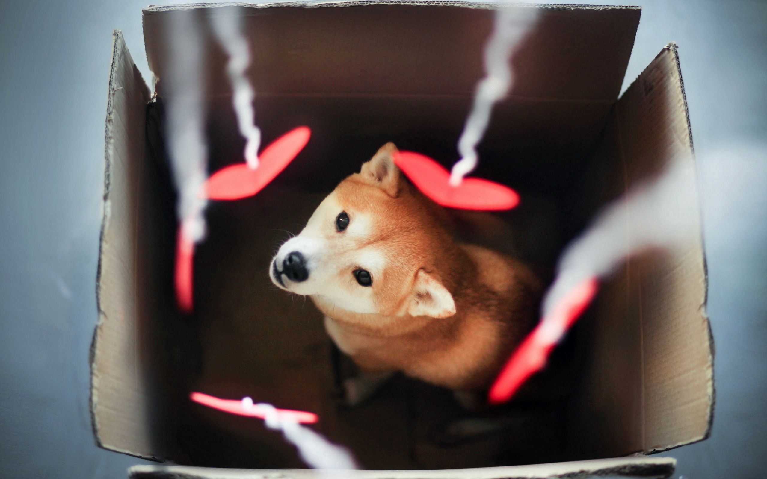 102046 download wallpaper Animals, Dog, Akita Inu, Box, Blur, Smooth screensavers and pictures for free