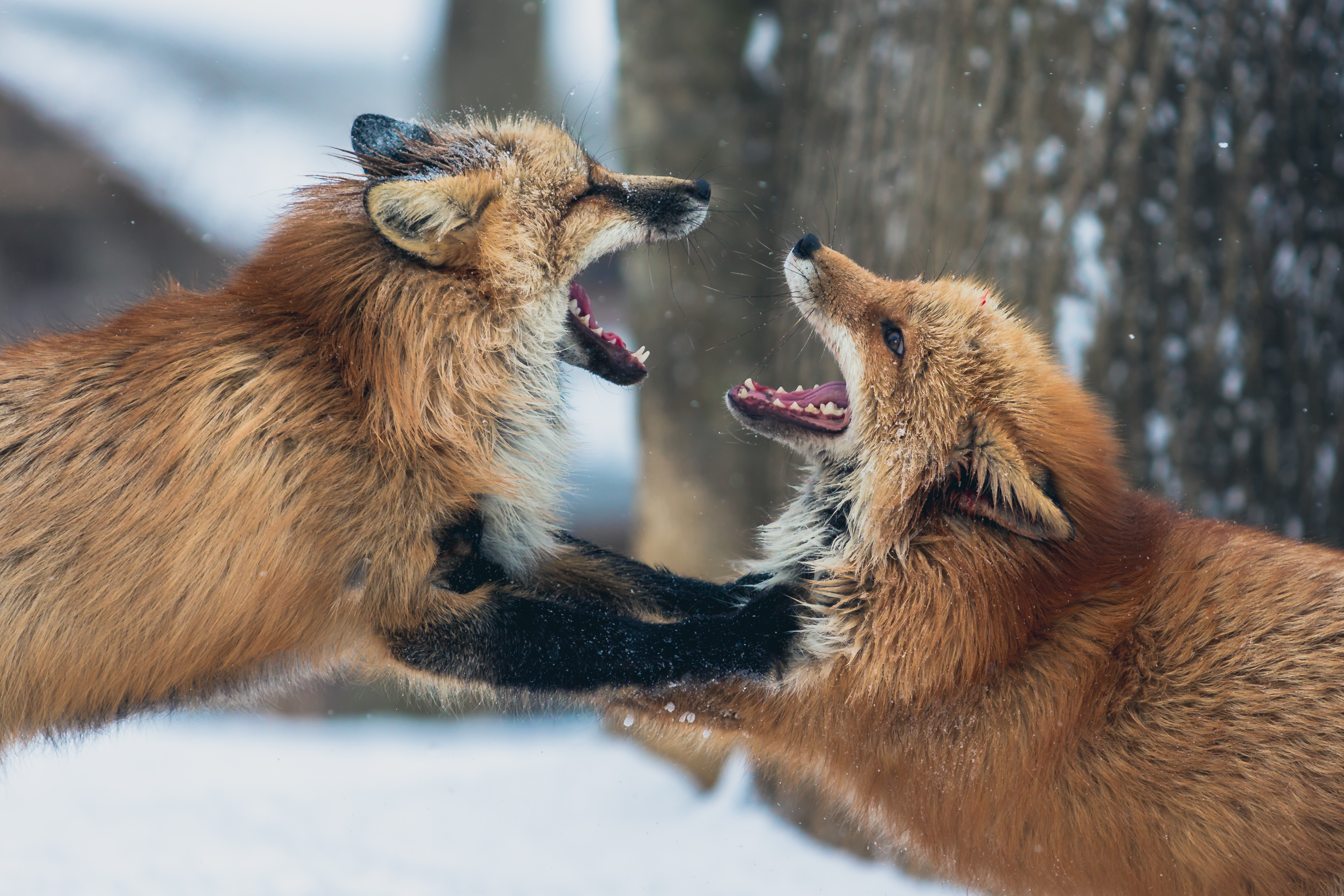 80338 download wallpaper Animals, Couple, Pair, Playful, Aggression, Fox screensavers and pictures for free