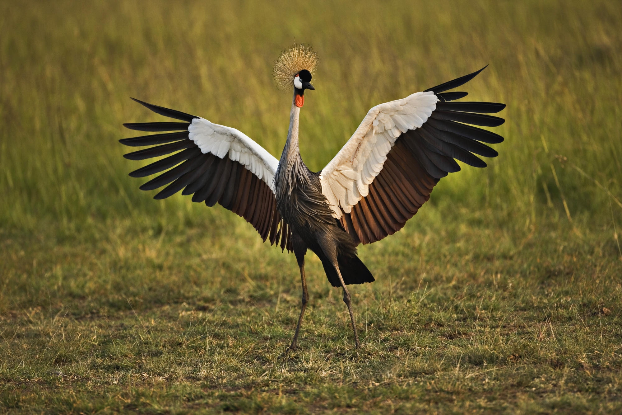 138986 download wallpaper Animals, Grass, Feather, Bird, Color, Crane screensavers and pictures for free
