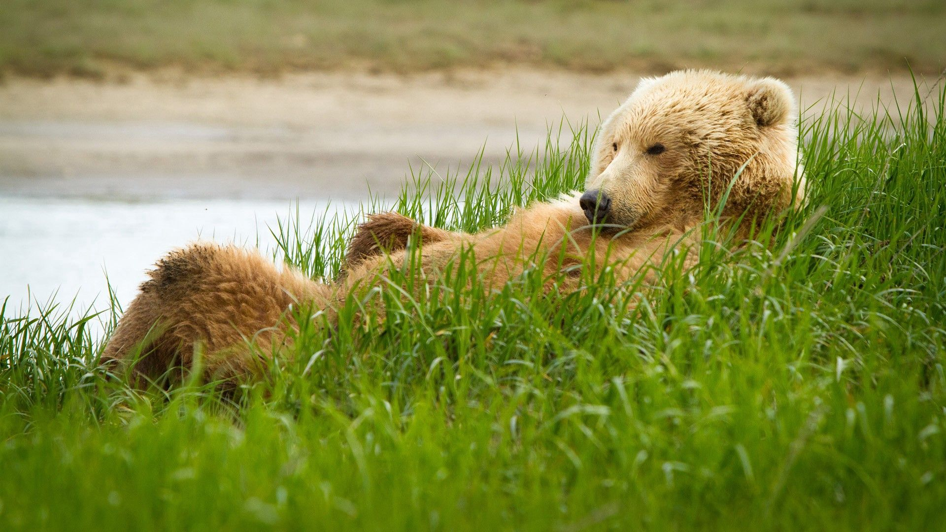 62034 Screensavers and Wallpapers Bear for phone. Download Animals, Grass, To Lie Down, Lie, Bear, Fat, Thick pictures for free