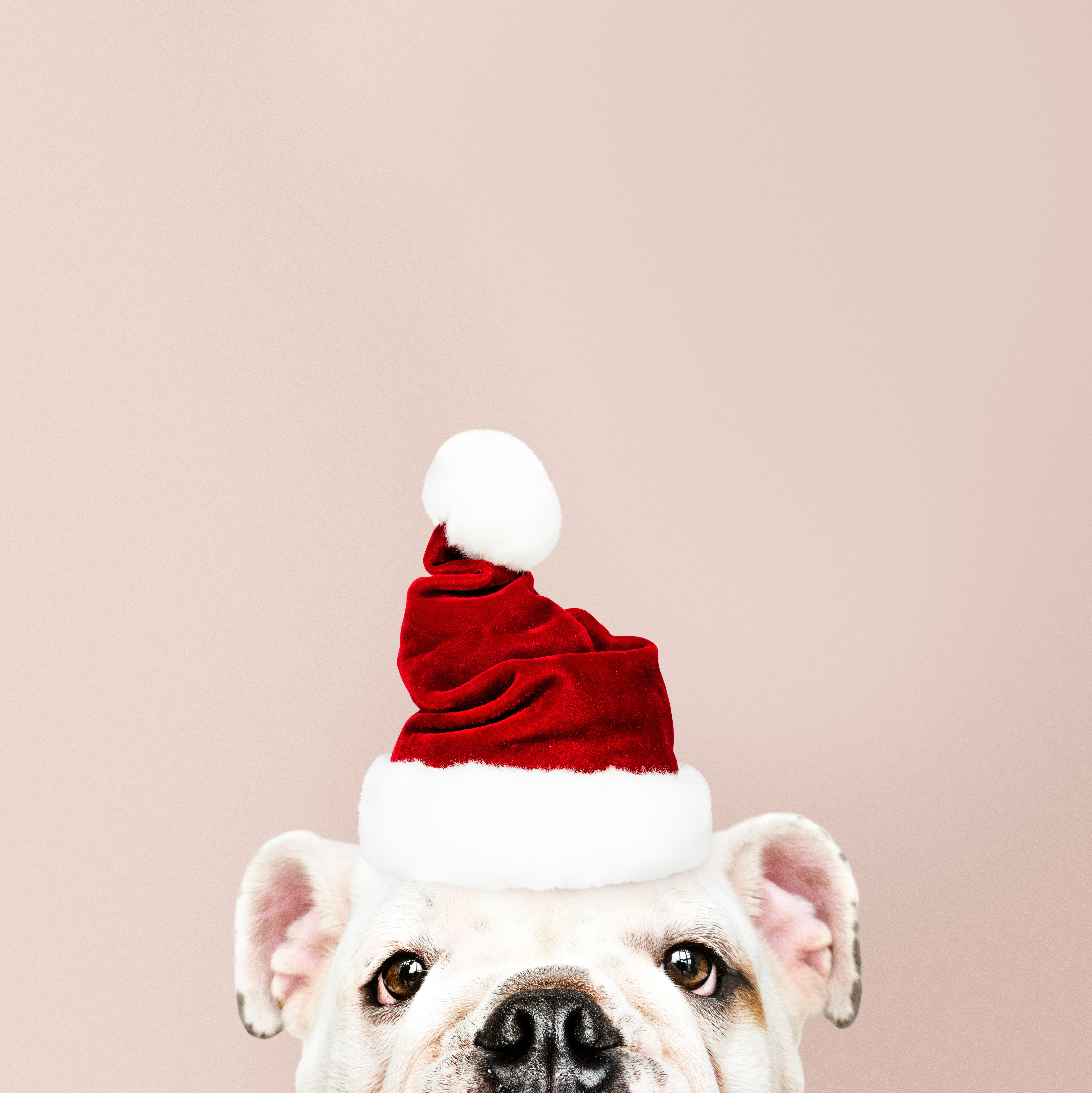 113382 download wallpaper Holidays, Dog, Santa Claus, New Year, Christmas screensavers and pictures for free