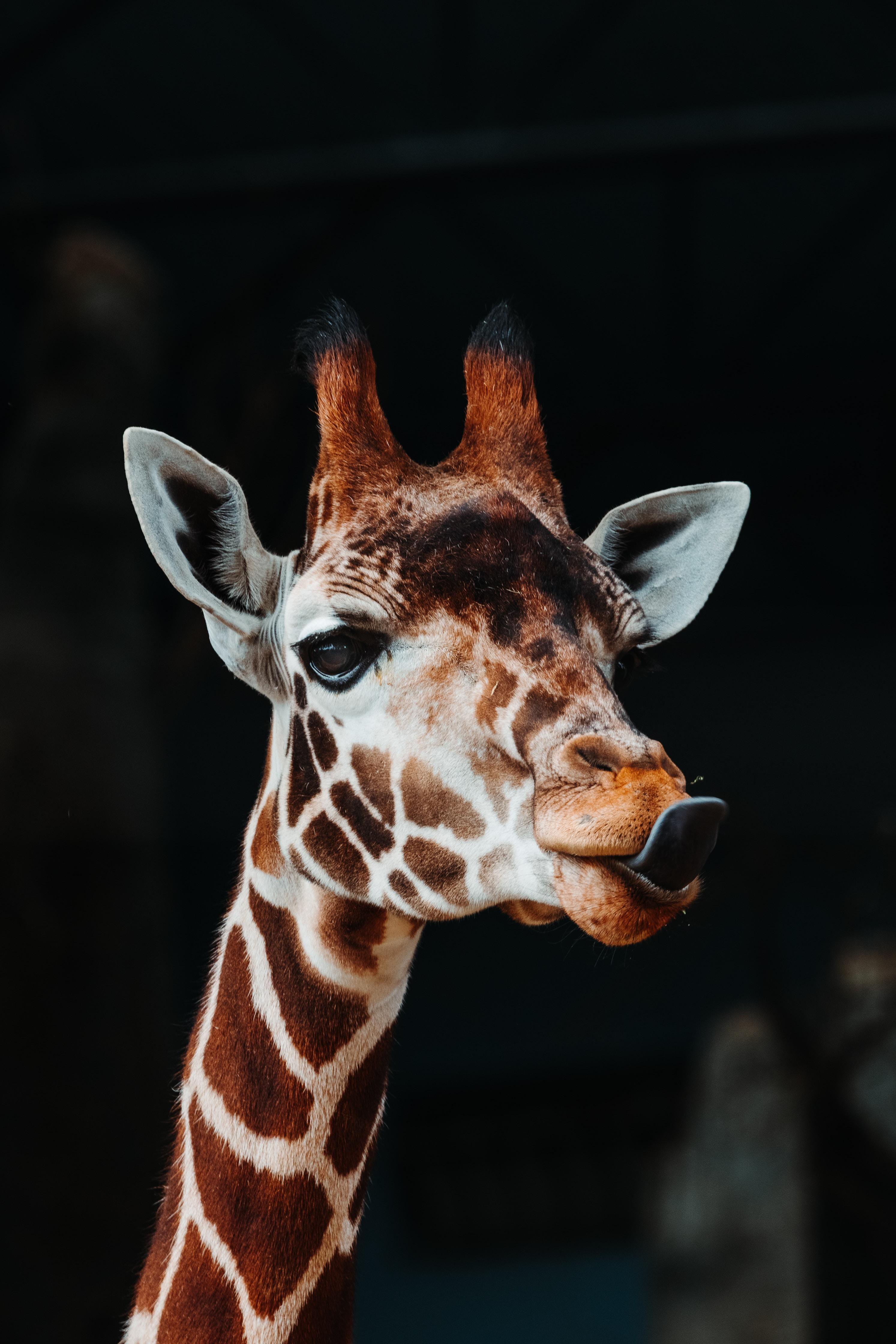 73775 免費下載壁紙 动物, 长颈鹿, 突出的舌头, 舌头, 有趣的, 有趣 屏保和圖片