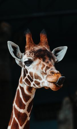 73775 Screensavers and Wallpapers Funny for phone. Download Animals, Giraffe, Protruding Tongue, Tongue Stuck Out, Funny, Animal pictures for free