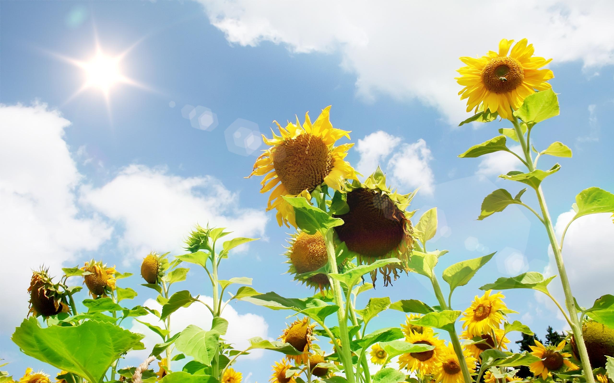 42323 скачать обои Растения, Пейзаж, Подсолнухи - заставки и картинки бесплатно