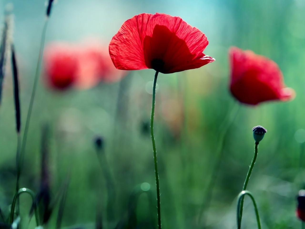 44129 скачать обои Растения, Цветы, Маки - заставки и картинки бесплатно