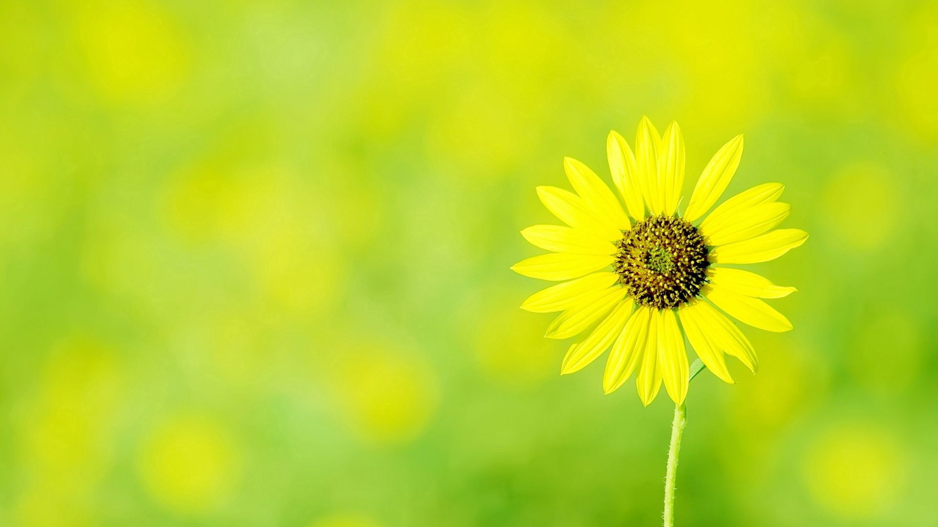 113872 download wallpaper Flowers, Chamomile, Camomile, Flower, Polyana, Glade, Sun screensavers and pictures for free
