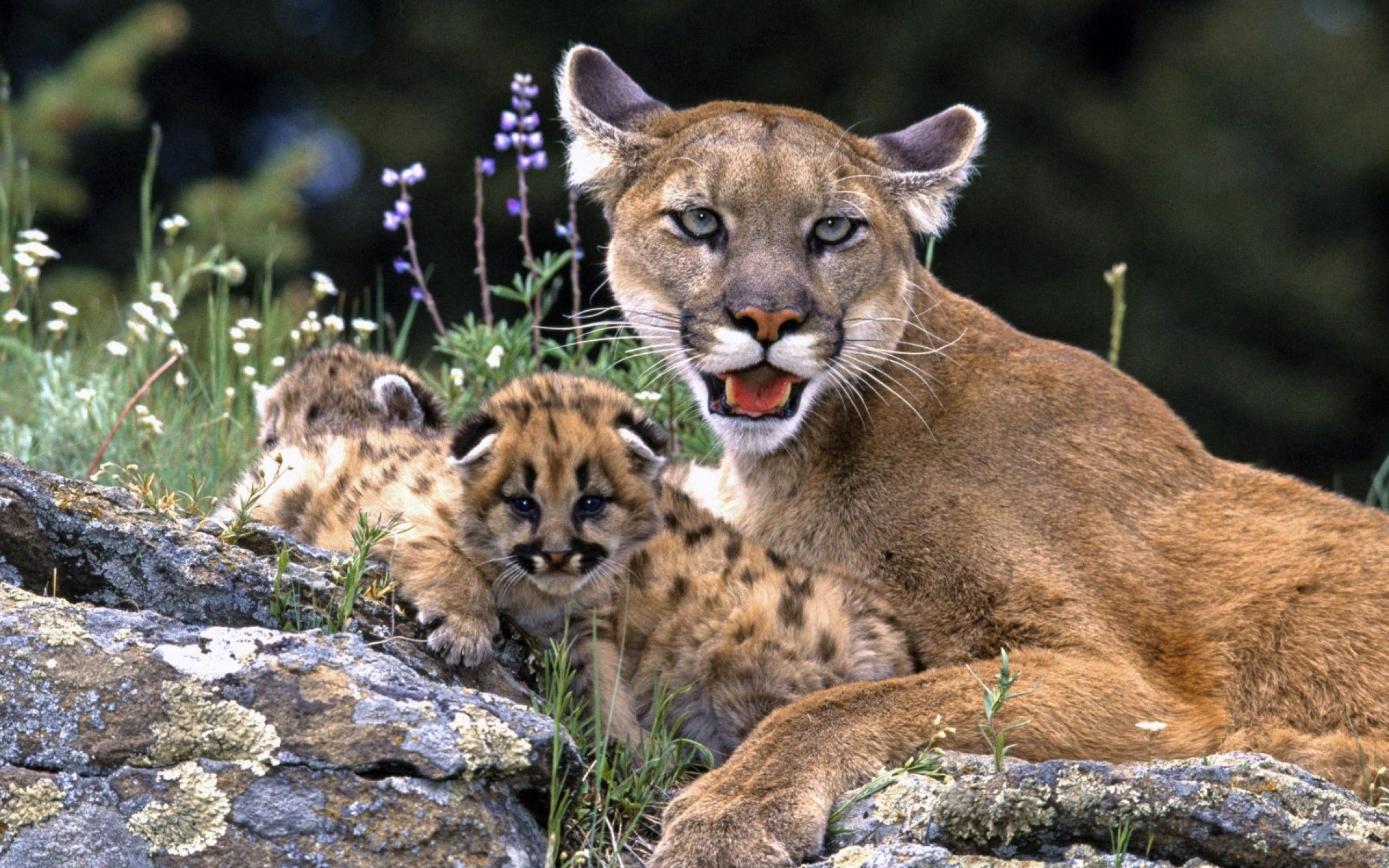 87854 Screensavers and Wallpapers Young for phone. Download Animals, Puma, Young, Care, Cubs pictures for free