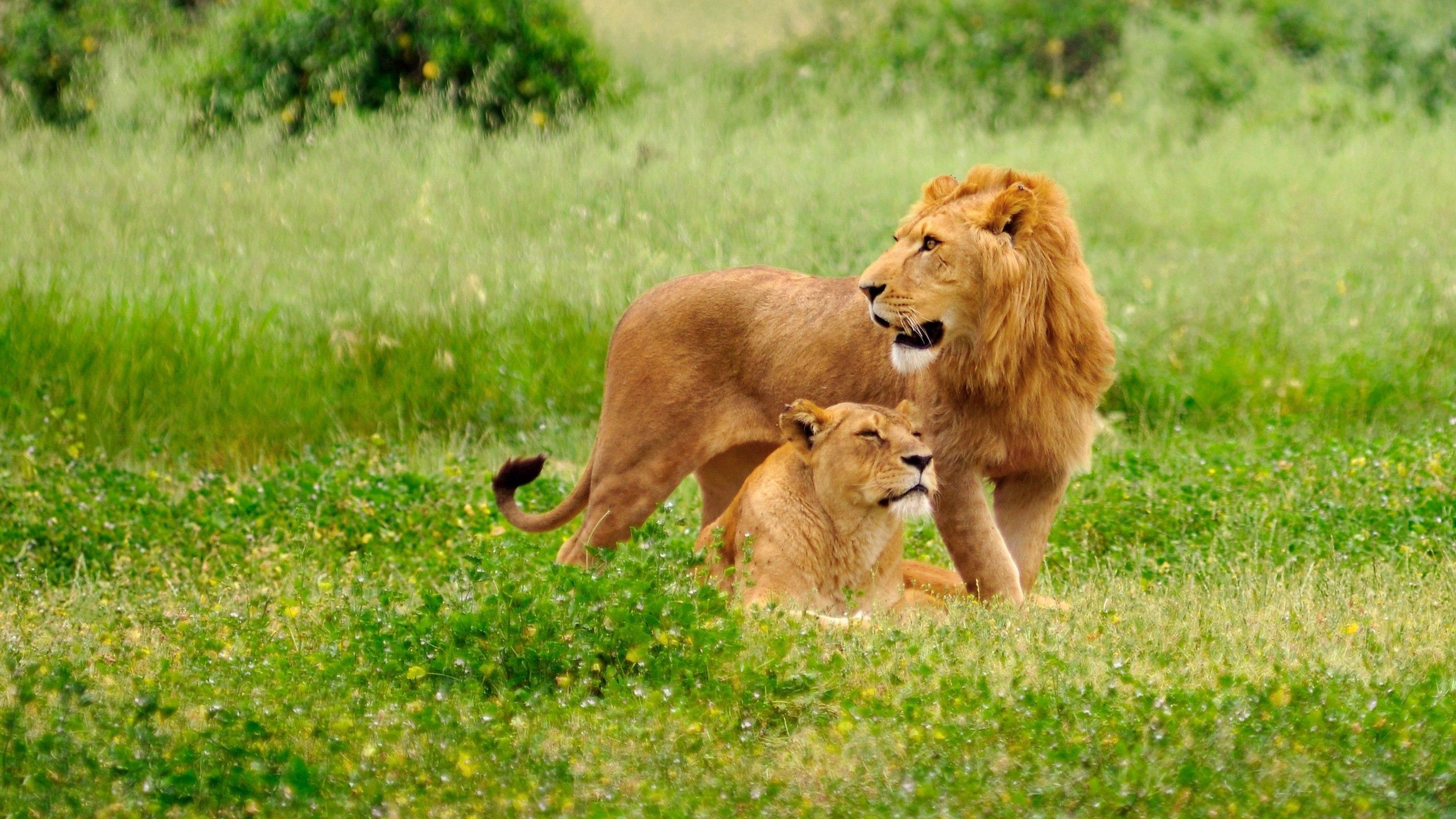 108433 download wallpaper Animals, Lion, Lioness, Field, Grass, Family, Care screensavers and pictures for free