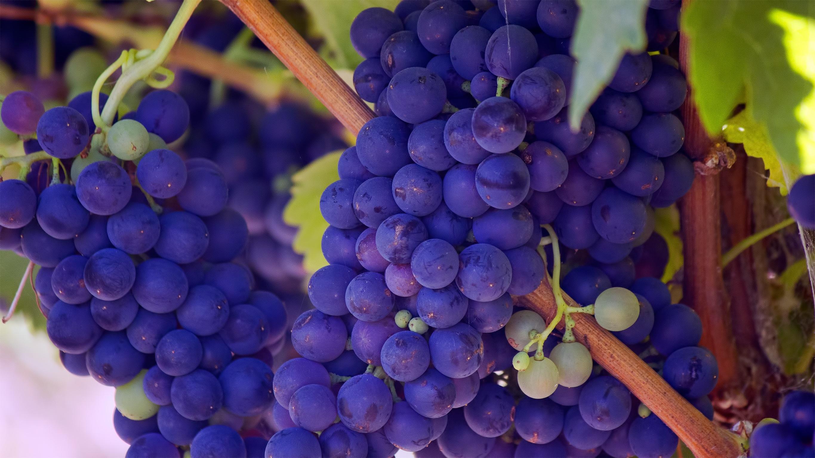 126876 скачать обои Виноград, Еда, Спелый, Ветки, Ягода, Лоза - заставки и картинки бесплатно