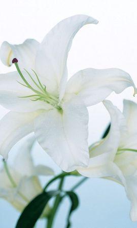 14651 скачать обои Растения, Цветы - заставки и картинки бесплатно