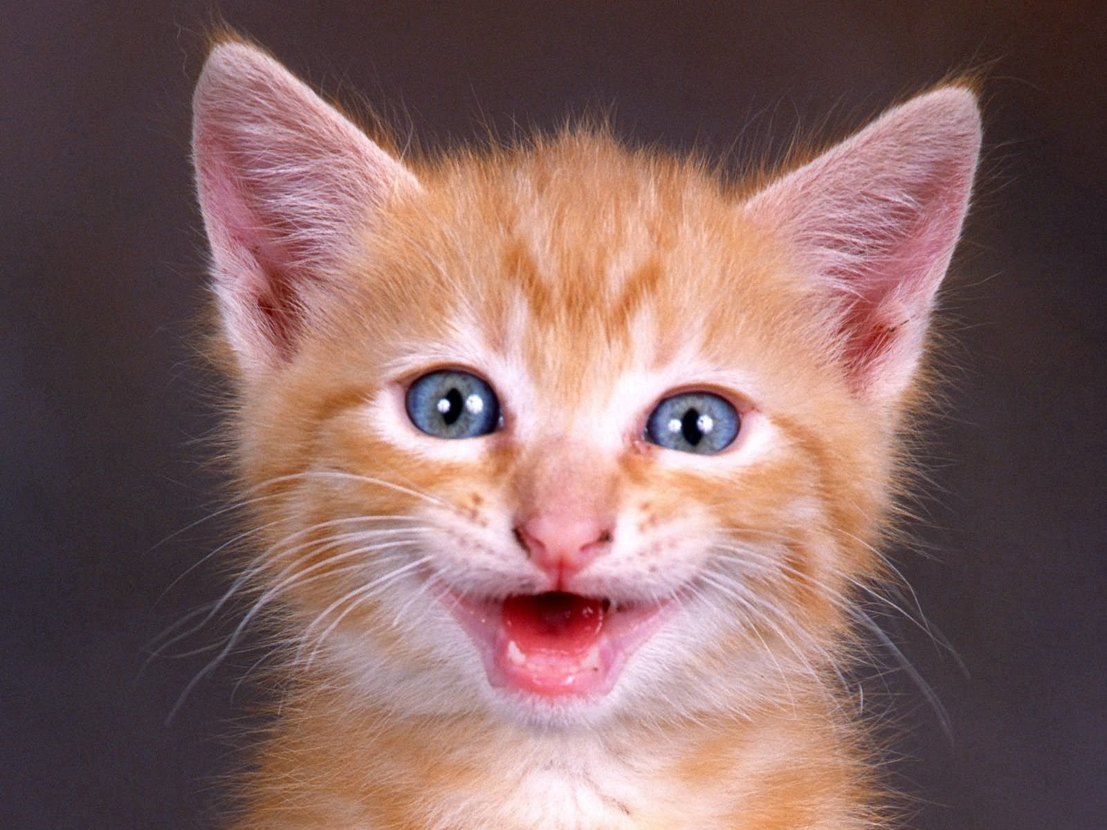 55041 download wallpaper Animals, Kitty, Kitten, Muzzle, Scream, Cry, Redhead screensavers and pictures for free