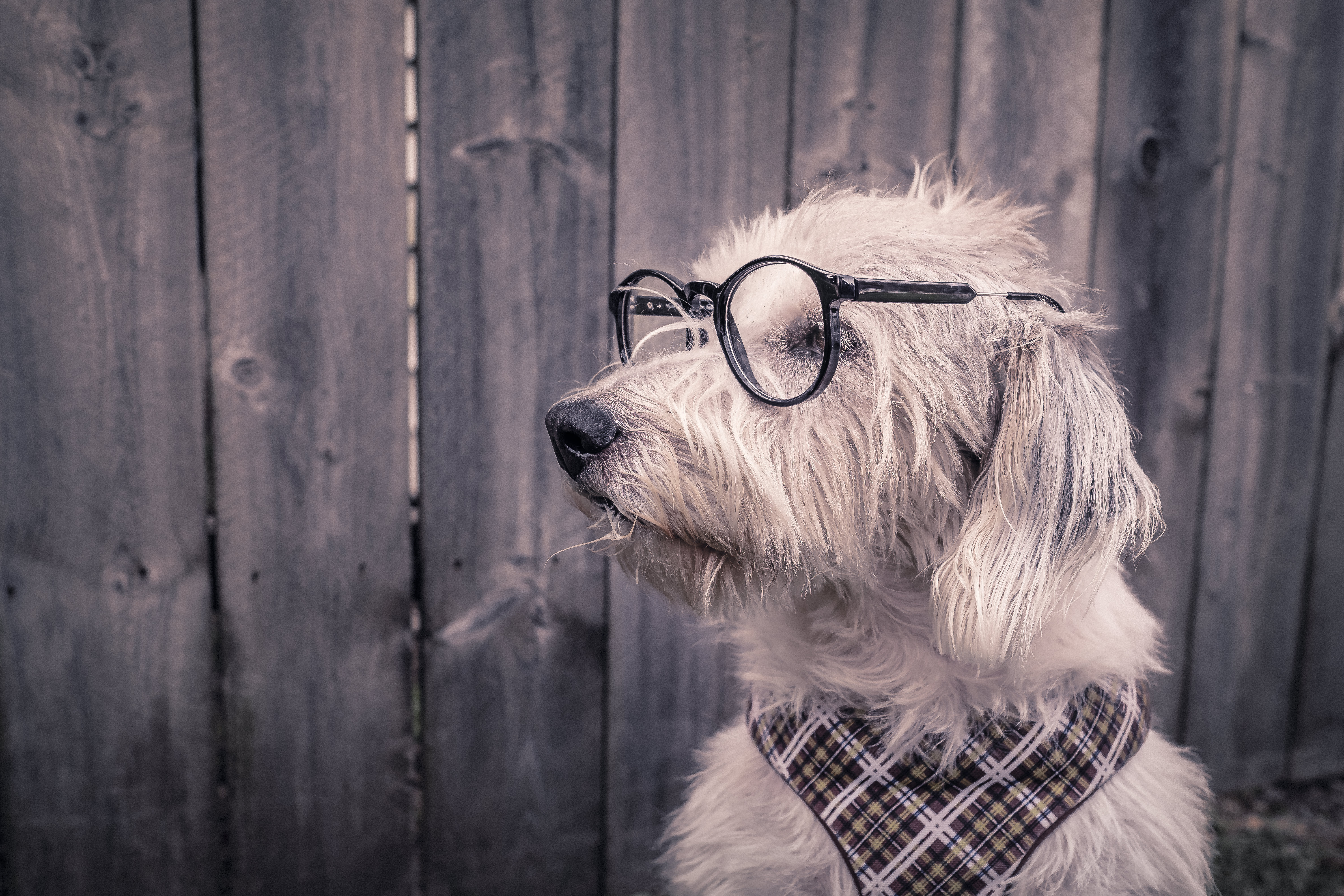 87163 download wallpaper Animals, Dog, Glasses, Spectacles, Handkerchief, Kerchief screensavers and pictures for free