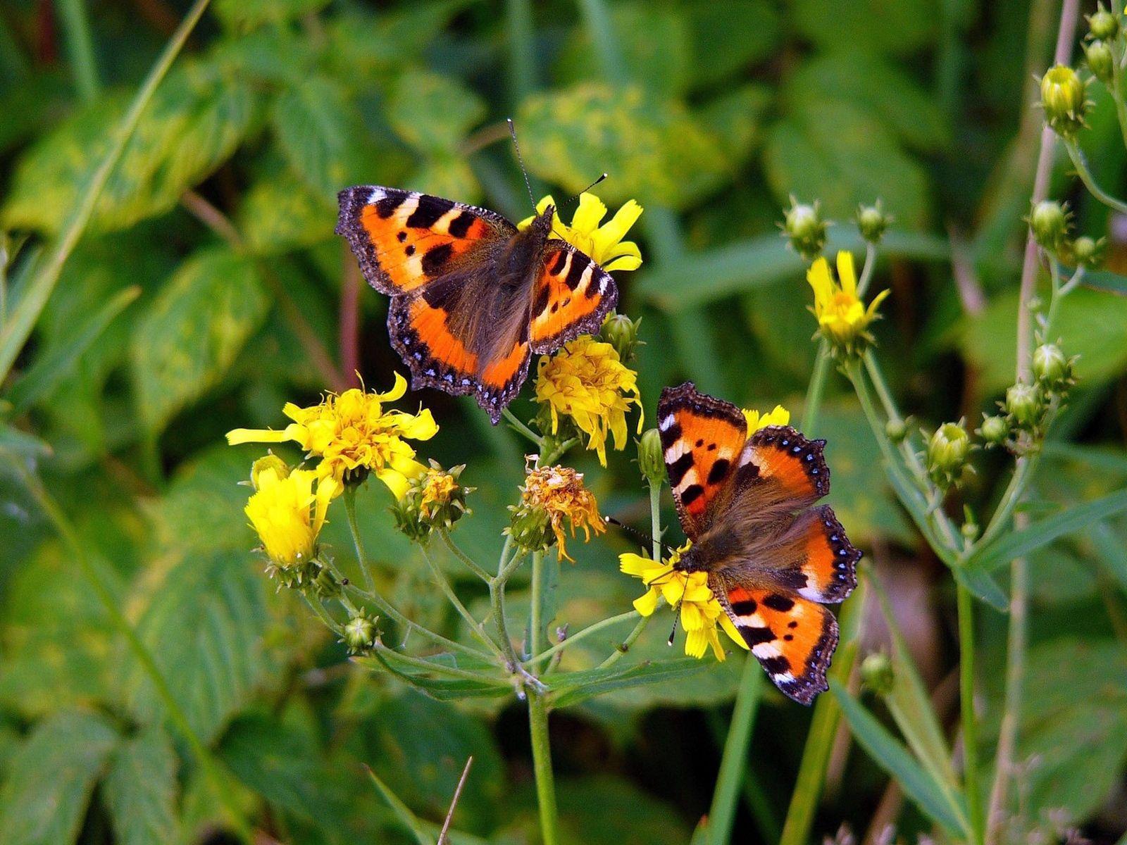 156427 Hintergrundbild herunterladen Schmetterlinge, Blumen, Grass, Makro, Sitzen, Flug - Bildschirmschoner und Bilder kostenlos