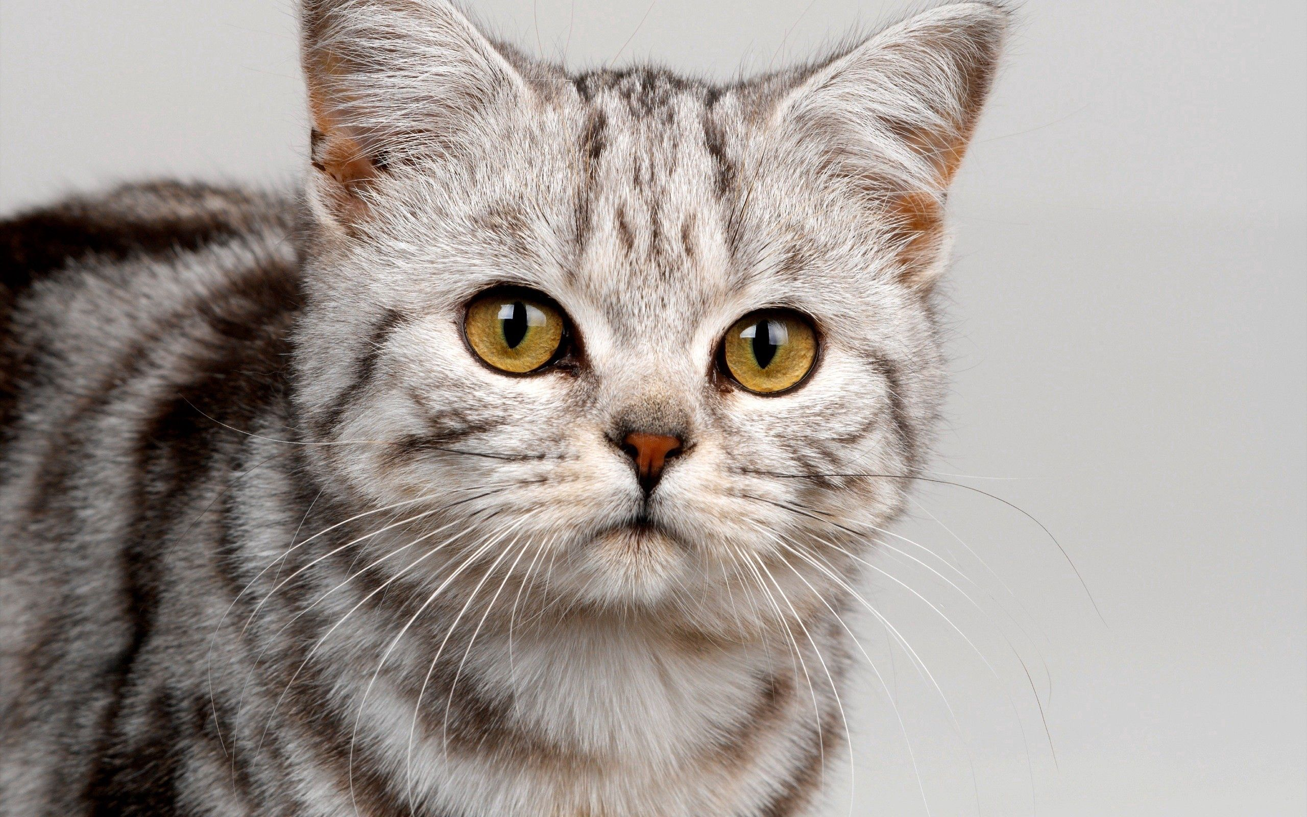 97685 download wallpaper Animals, Cat, Muzzle, Striped, Sight, Opinion, Nice, Sweetheart, Kitty, Kitten screensavers and pictures for free