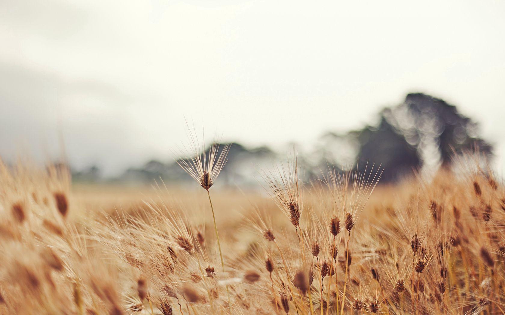 57916 скачать обои Природа, Колосья, Усы, Пасмурно, Размытие, Пшеница - заставки и картинки бесплатно