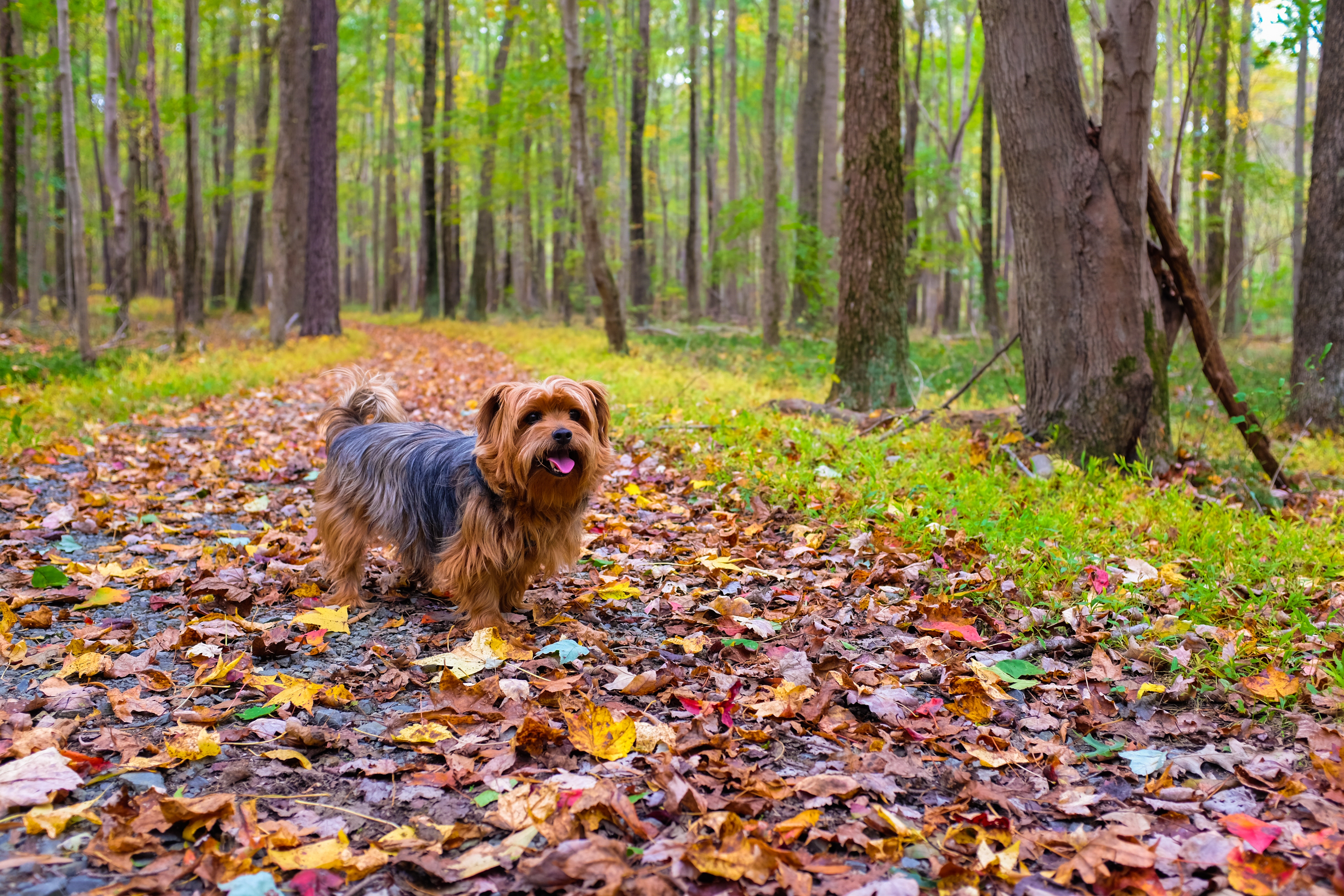156692 download wallpaper Animals, Dog, Autumn, Park, Stroll screensavers and pictures for free