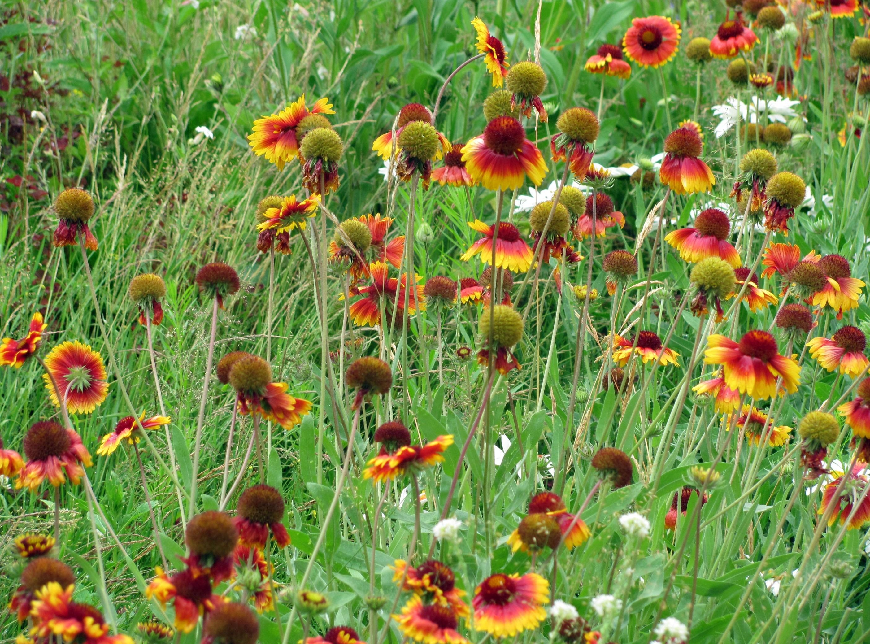 88729 download wallpaper Flowers, Gaillardia, Camomile, Polyana, Glade, Greens, Grass screensavers and pictures for free