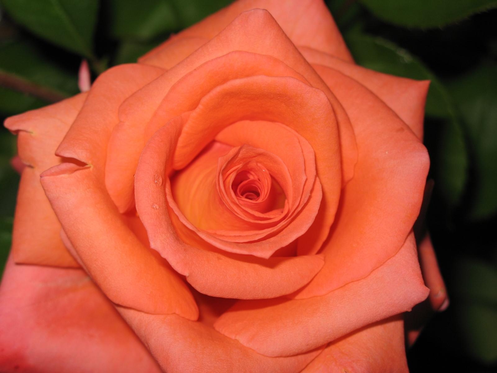 1438 скачать обои Растения, Цветы, Розы - заставки и картинки бесплатно