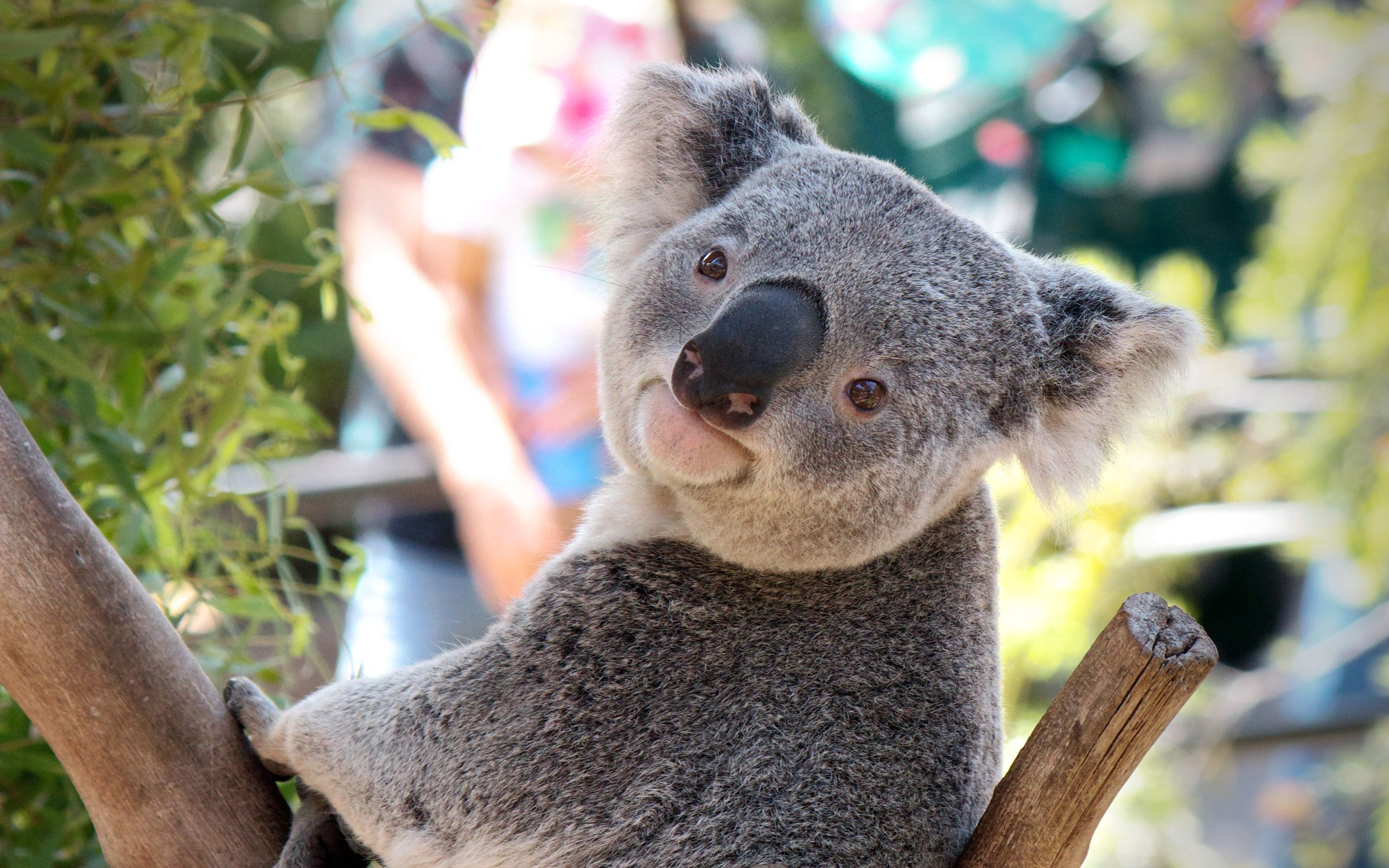 103332 Screensavers and Wallpapers Nose for phone. Download Animals, Muzzle, Beast, Nose, Koala pictures for free