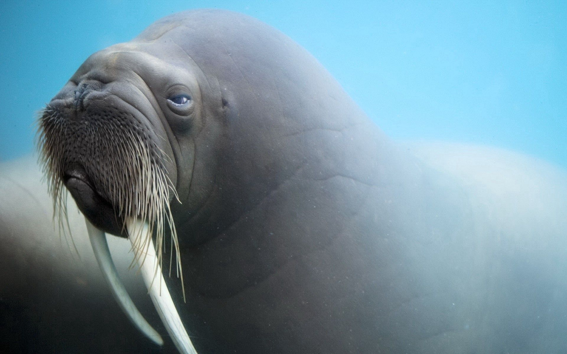 139294 download wallpaper Animals, Walrus, Fangs, Muzzle, Blur, Smooth screensavers and pictures for free