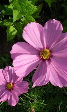141657 baixar papel de parede Flores, Kosmeya, Cosmos, Casal, Par, Canteiro De Flores, Verdes, Verdura - protetores de tela e imagens gratuitamente