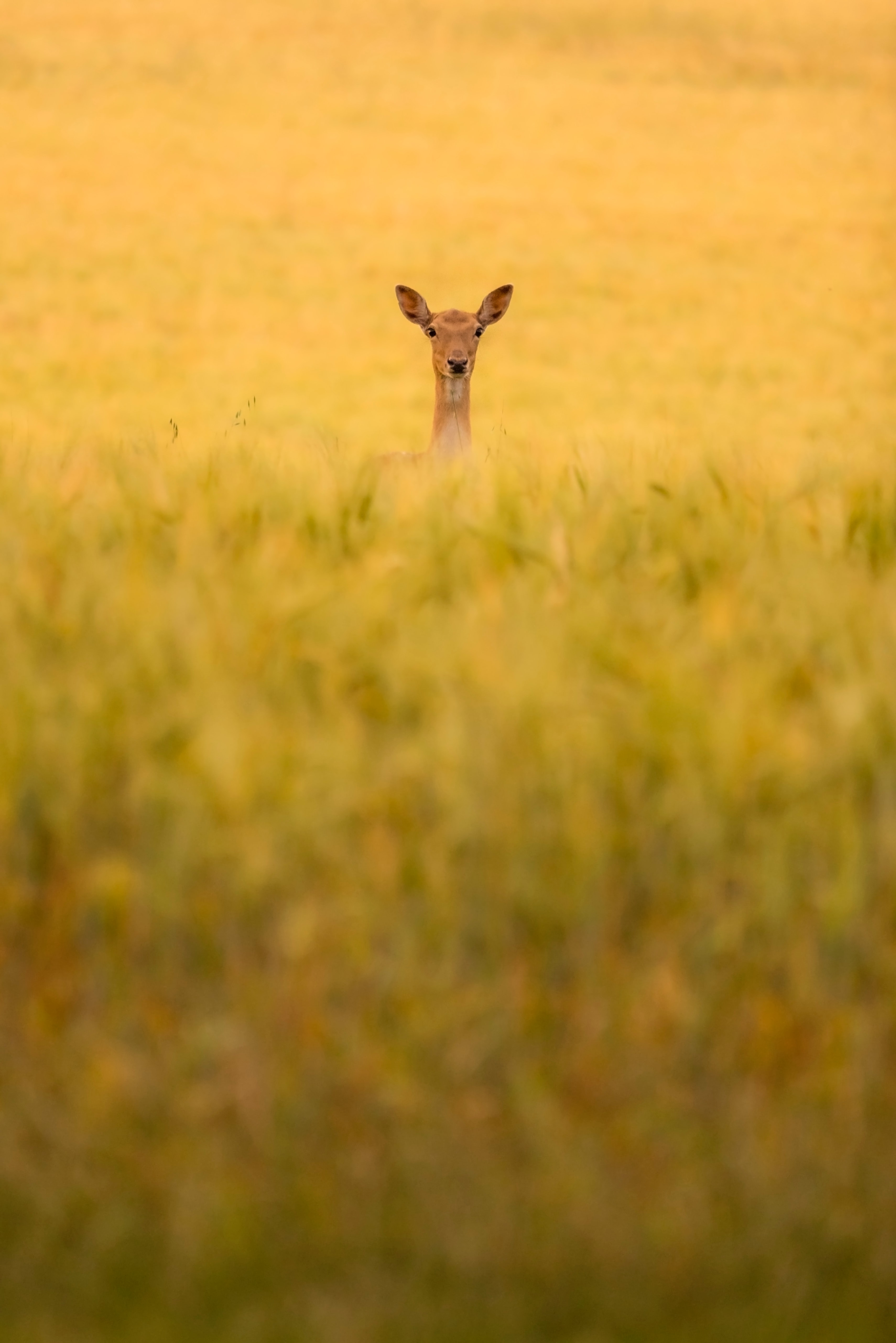125340 download wallpaper Animals, Roe, Roe Deer, Animal, Field, Grass screensavers and pictures for free