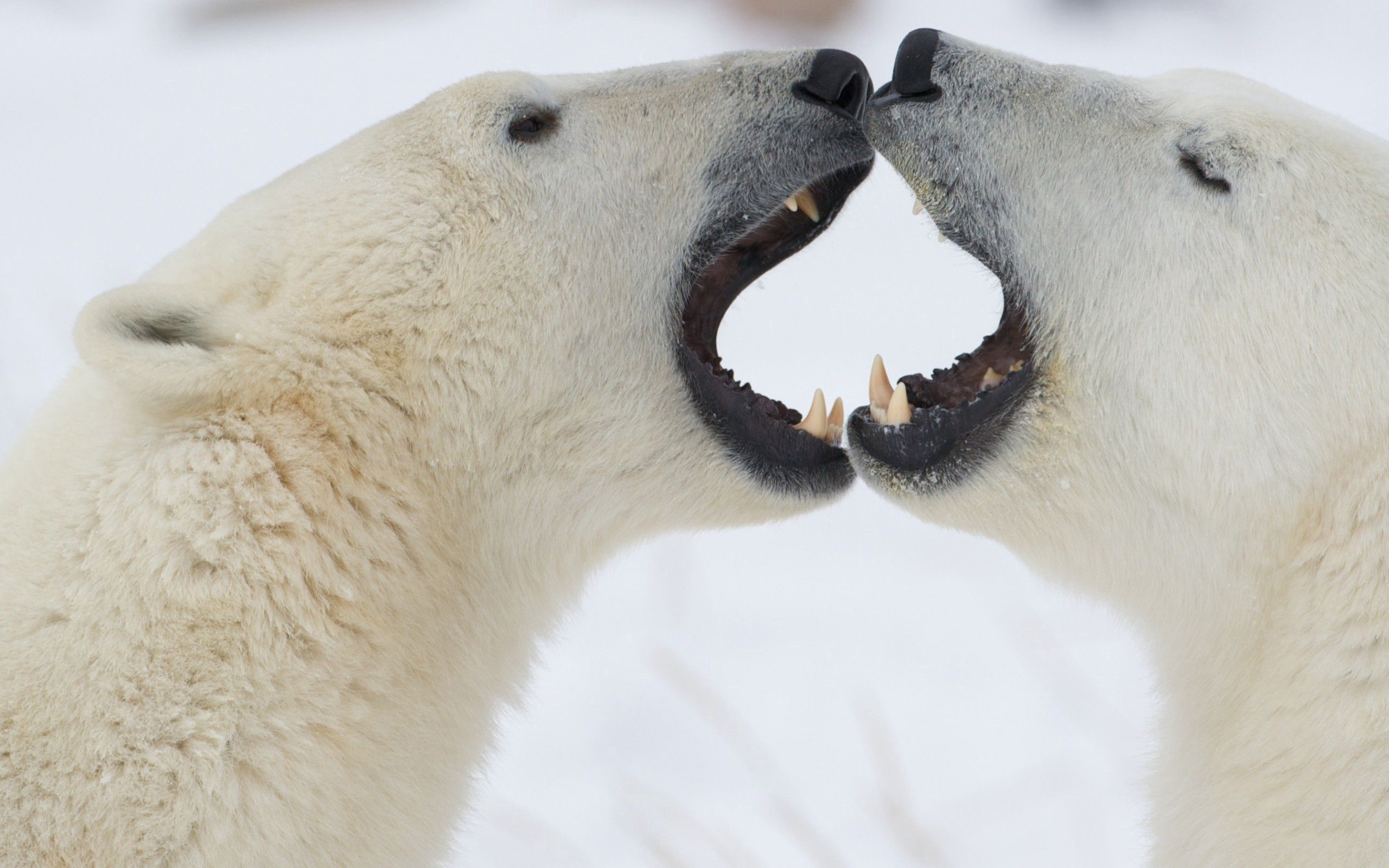 61755 download wallpaper Animals, Polar Bears, Couple, Pair, Playful, Anger screensavers and pictures for free