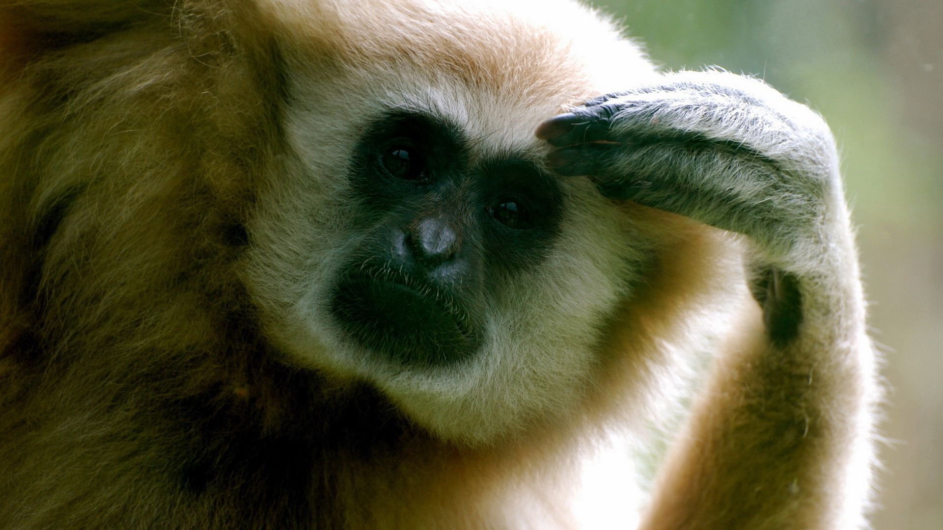 102972 download wallpaper Animals, Monkey, Thinks, Paw screensavers and pictures for free