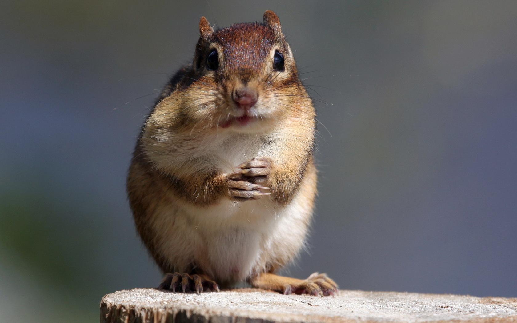 36378 Hintergrundbild herunterladen Tiere, Nagetiere, Chipmunks - Bildschirmschoner und Bilder kostenlos
