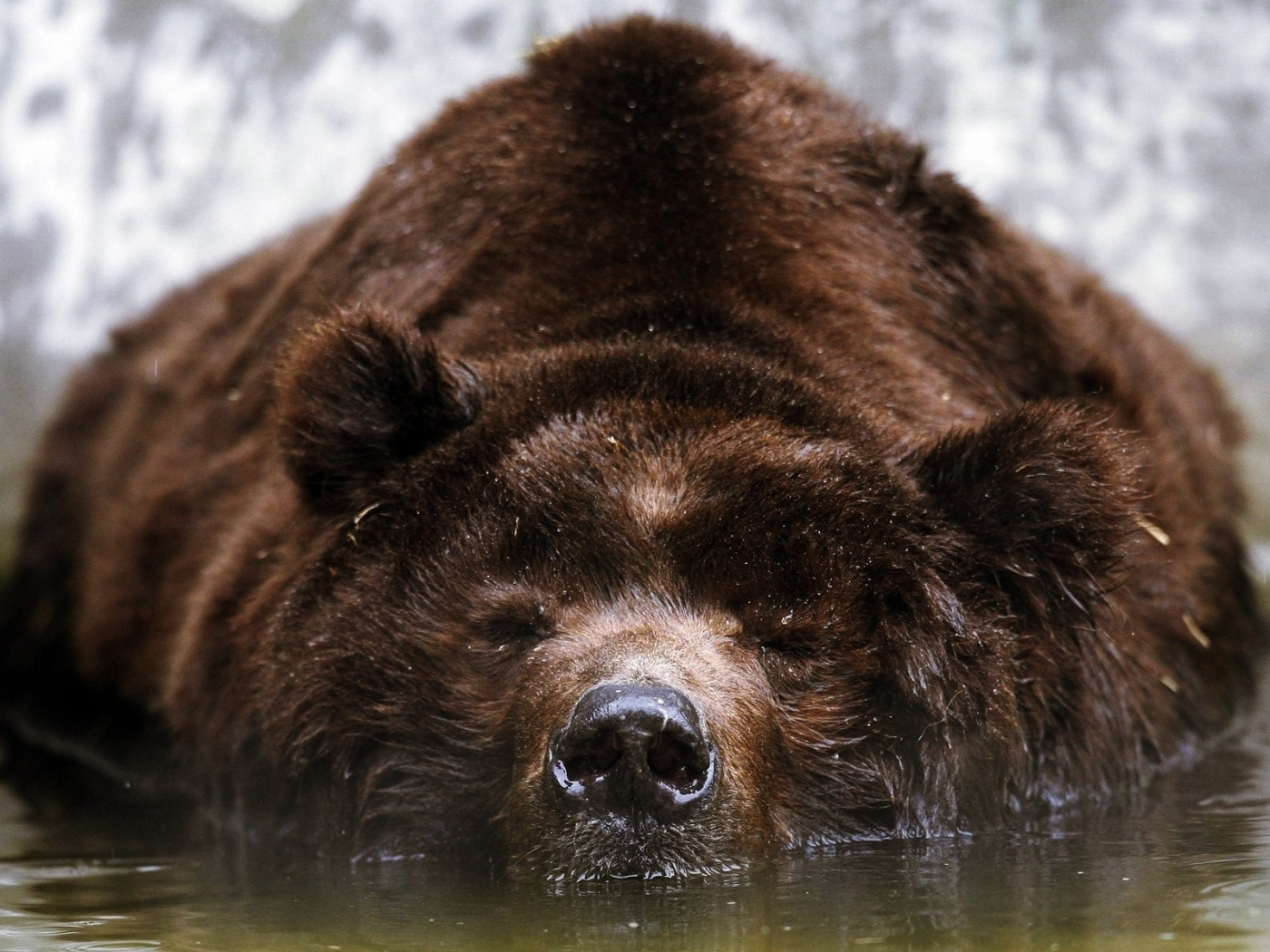 46622 download wallpaper Animals, Bears screensavers and pictures for free