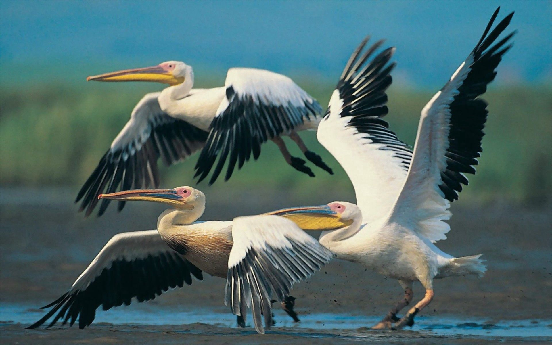 126345 download wallpaper Animals, Flight, Wings, Sweep, Wave, Pelicans screensavers and pictures for free