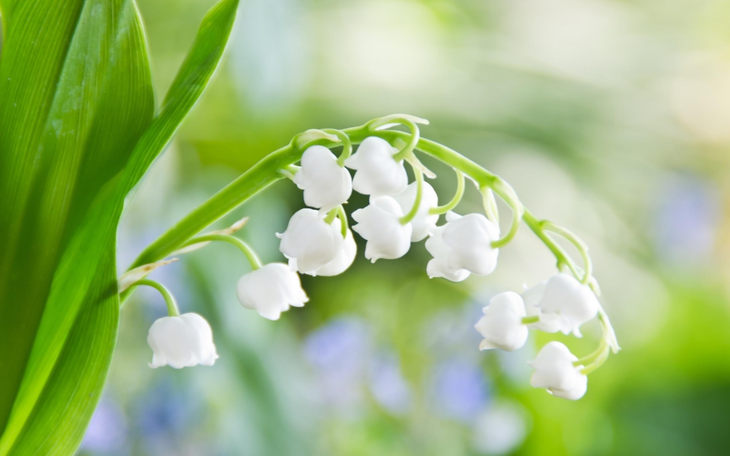 20093 скачать обои Растения, Цветы, Ландыши - заставки и картинки бесплатно
