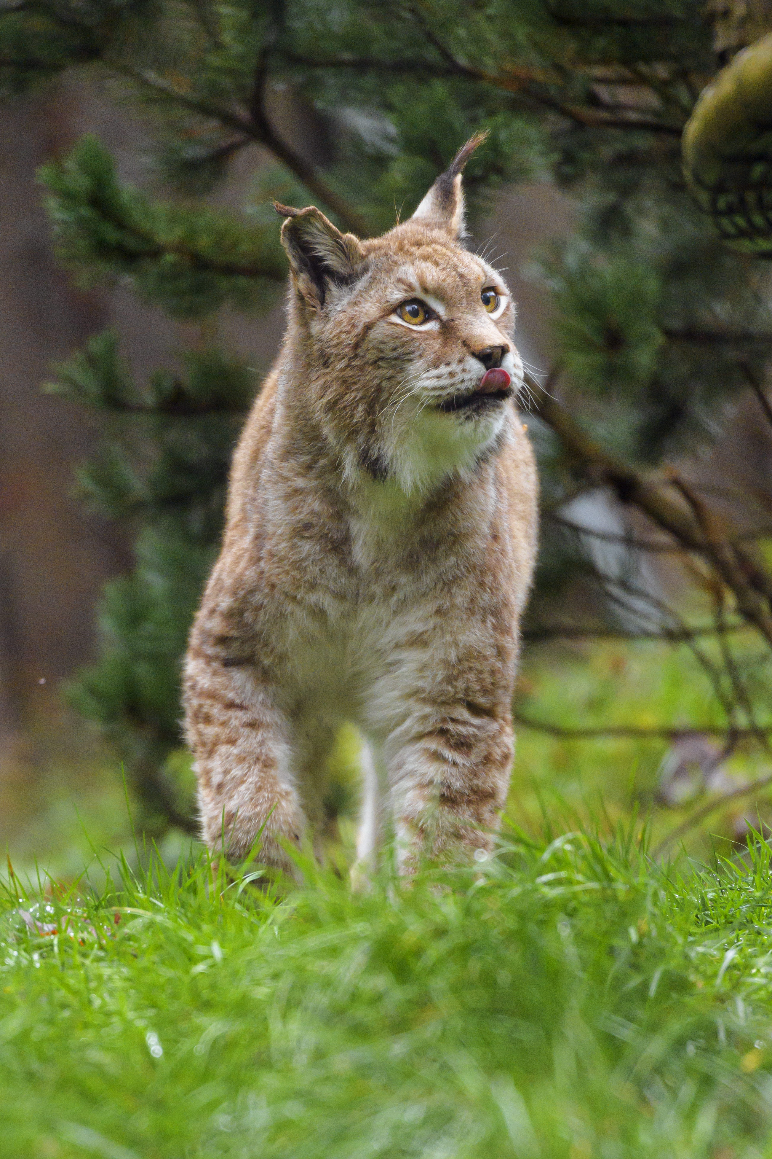 154224 Screensavers and Wallpapers Protruding Tongue for phone. Download Animals, Iris, Protruding Tongue, Tongue Stuck Out, Big Cat, Predator, Wild pictures for free