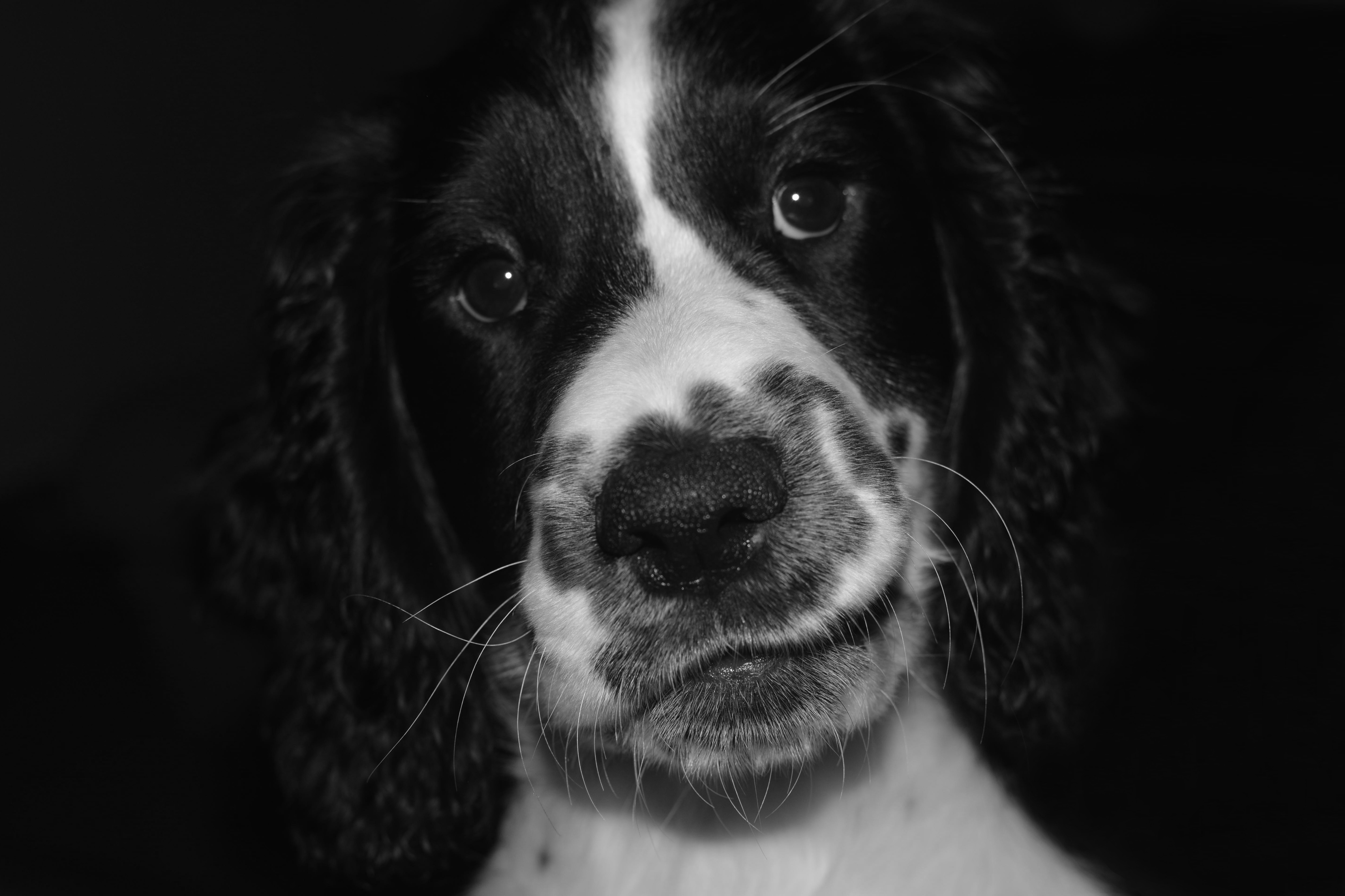 122472 download wallpaper Animals, Springer Spaniel, Dog, Bw, Chb, Spotted, Spotty, Pet screensavers and pictures for free