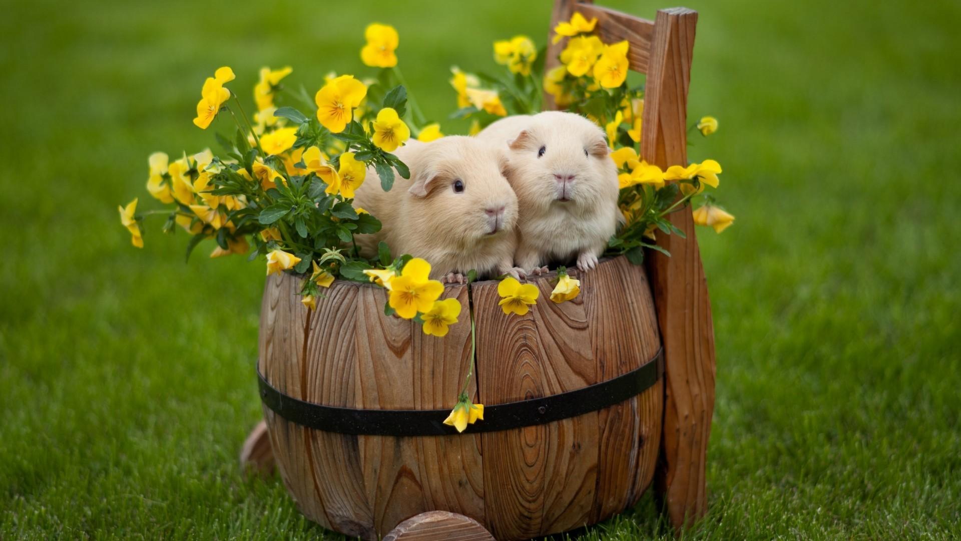 22639 скачать обои Животные, Цветы, Трава, Морские Свинки - заставки и картинки бесплатно