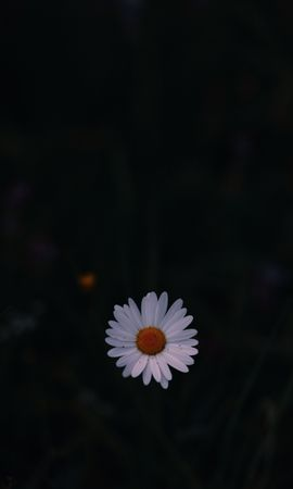 146297 Screensavers and Wallpapers Dark for phone. Download Dark, Chamomile, Camomile, Wild Flower, Field Flower, Dark Background pictures for free