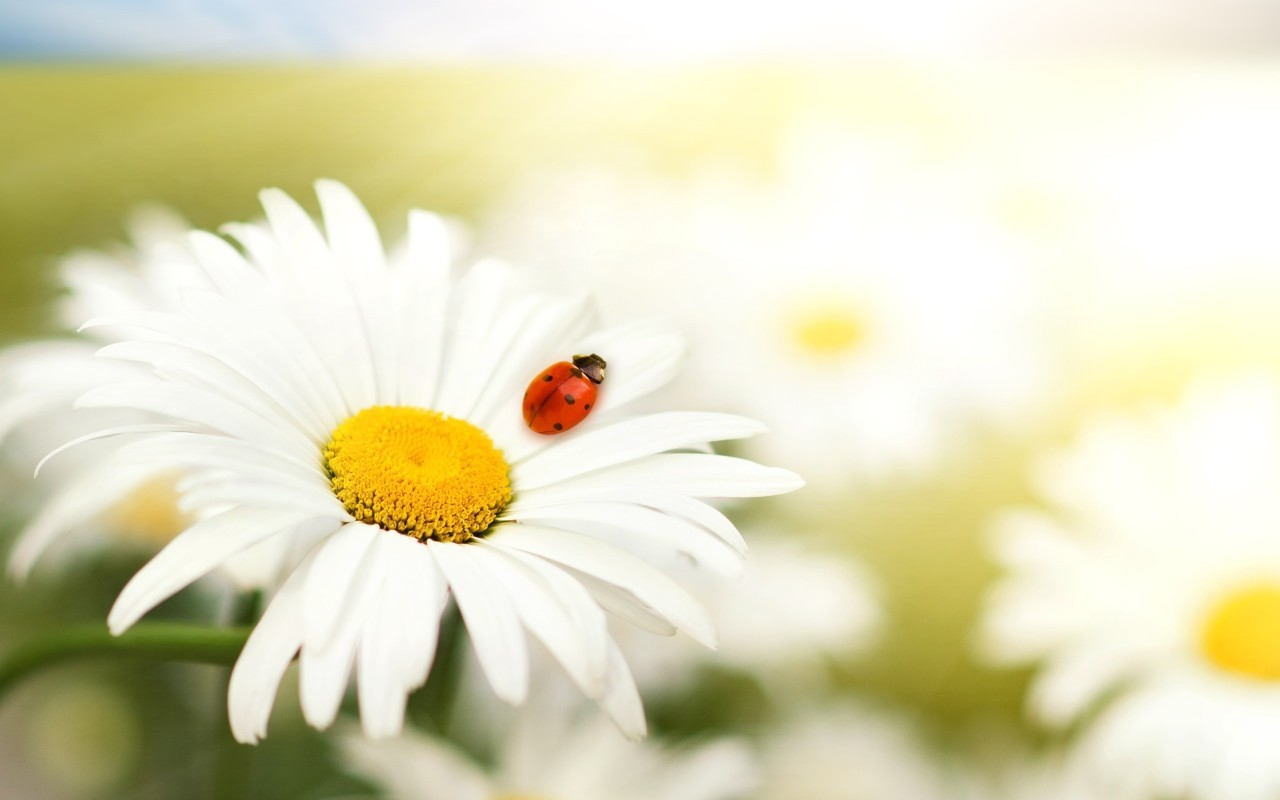 22969 download wallpaper Plants, Flowers, Insects, Camomile, Ladybugs screensavers and pictures for free